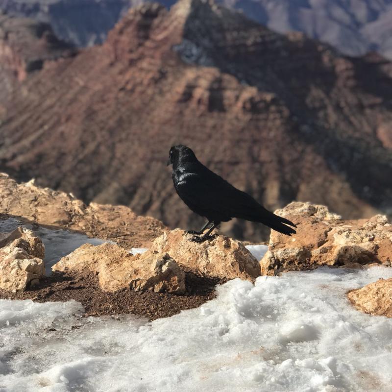AZ_Crow